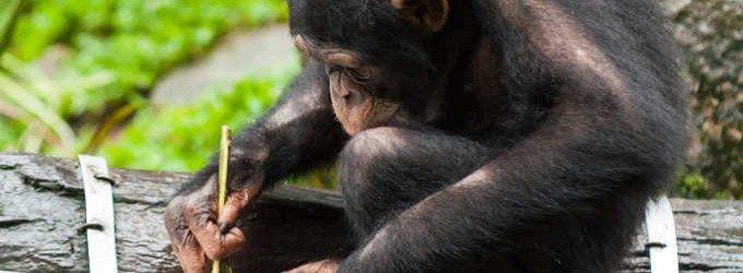 Più stupido di una scimmia? Intelligenza di uomo e primati a confronto