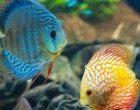 Etologia: nelle femmine dei pesci il cervello più grande è associato ad una maggiore sopravvivenza