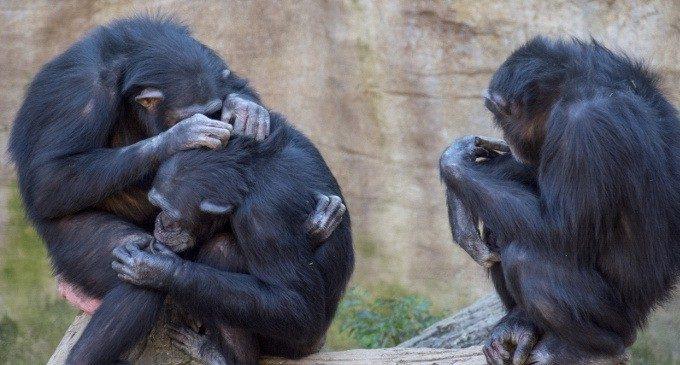 Più umani degli umani? Il senso della società negli scimpanzé