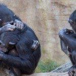 Più umani degli umani? Il senso della società negli scimpanzé - Immagine: 83580577