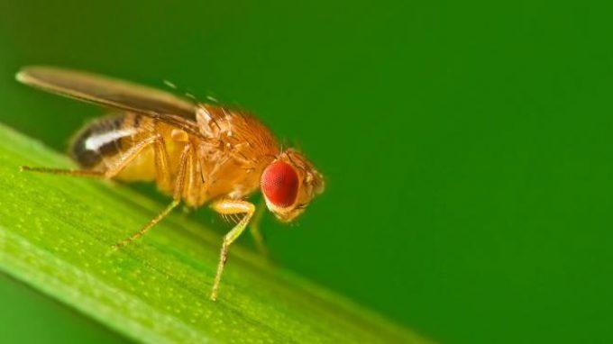 Dormire o fare sesso? I comportamenti della Drosophila, il moscerino della frutta