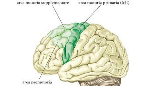 Il sistema motorio e la corteccia motoria – Introduzione alla Psicologia