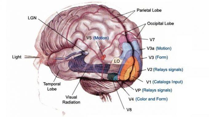 La corteccia visiva – Introduzione alla Psicologia