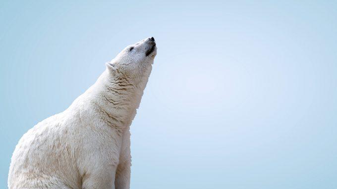 L'effetto orso bianco